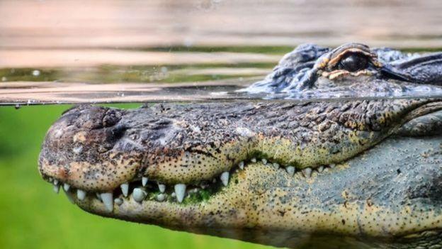 Crocodilo na água