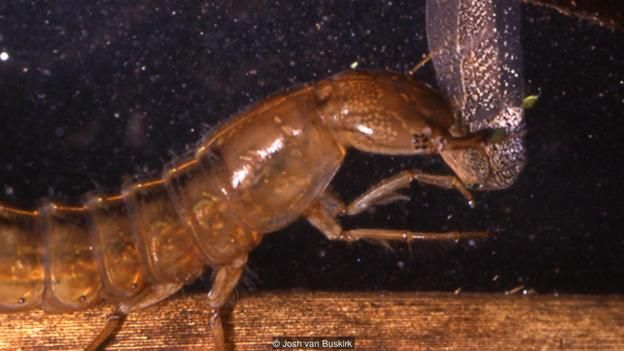 A water beetle (Dytiscus sp.) targets a tadpole (Credit: Josh van Buskirk)