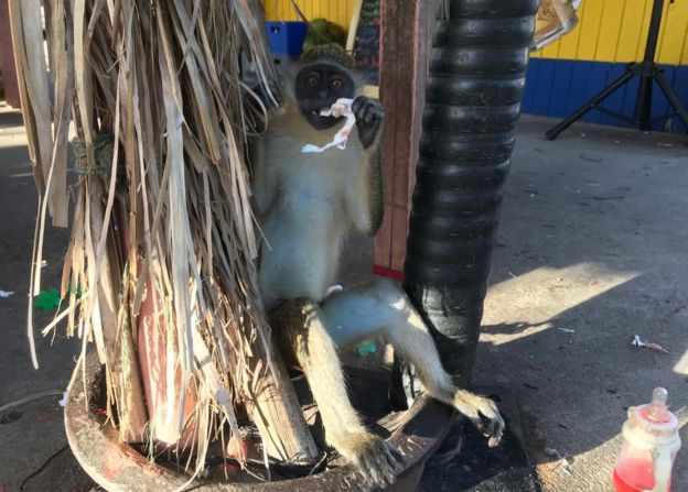 Monkey seen tied up at a city bar