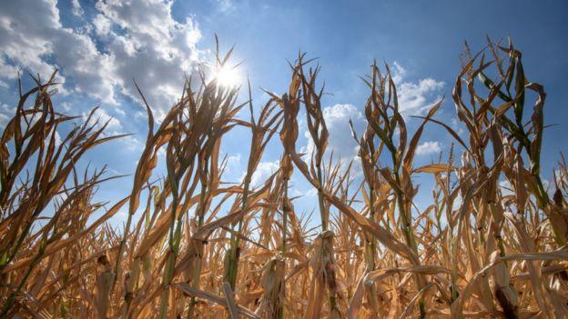 Campos de maíz en Alemania.