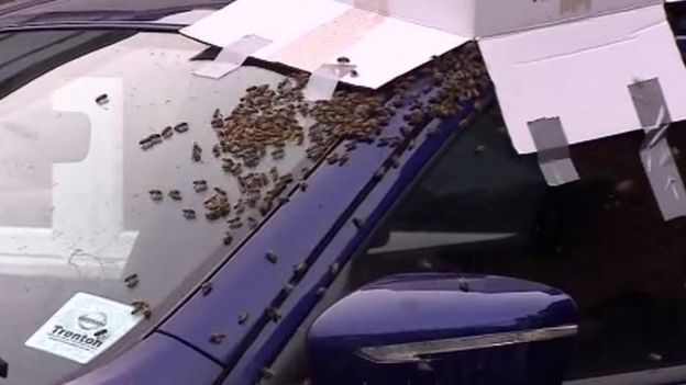 Bees on a car in Hull