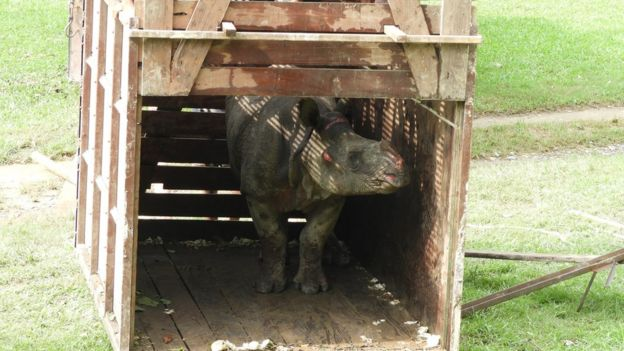 The young rhino emerges from her crate
