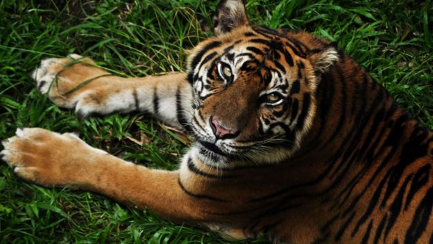 Tigre de Sumatra.