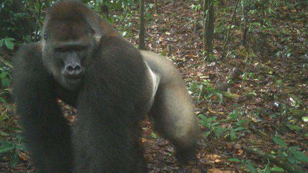 A silverback Cross River gorilla