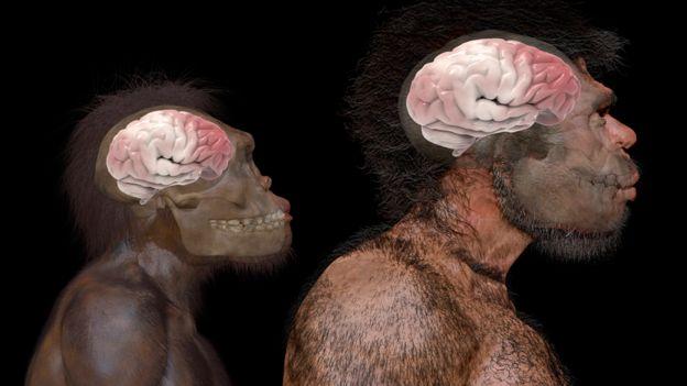 Comparação do tamanho do cérebro do Homo naledi (espécie extinta) e do Homo sapiens, de acordo com fósseis encontrados em Jebel Irhoud, no Marrocos
