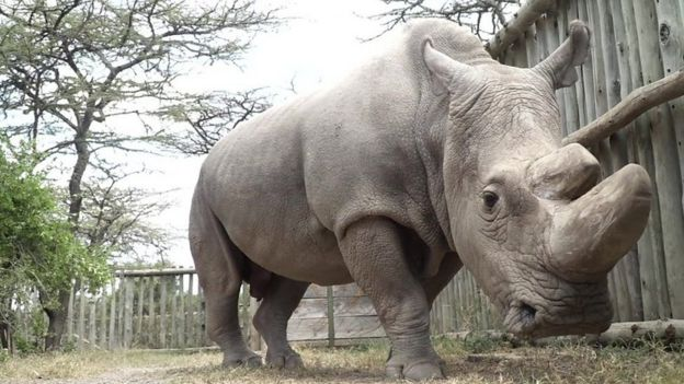 Sudan the northern white rhino
