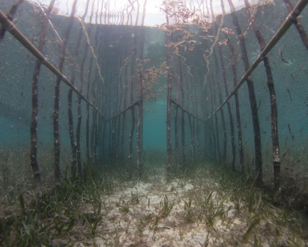 Static fish fences in seagrass in Indonesia