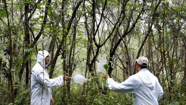 Pesquisadores recolhem mosquitos no Parque Anhanguera, em São Paulo