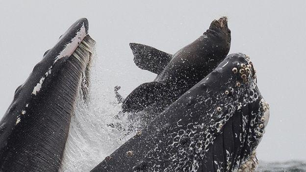 Baleia engole leão marinho