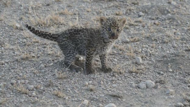 A shot of the leopard cub crouching with its tale extended