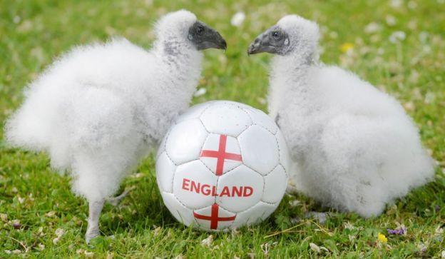 ลูกแร้งตุรกีฝาแฝดในอังกฤษ พวกมันออกจากไข่ช่วงช่วงฟุตบอลโลกพอดี