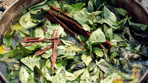 Hojas de ayahuasca y chacruna cocinadas en una ceremonia.