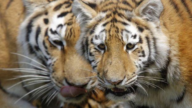 بازگشت شیرها و ببرهای فراری به باغ وحش آلمان