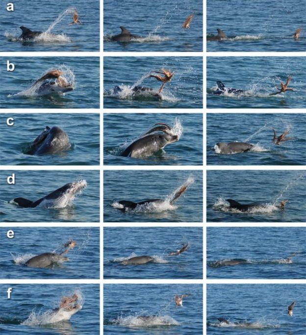 An adult bottlenose dolphin shakes an octopus off the coast of Bunbury, Western Australia
