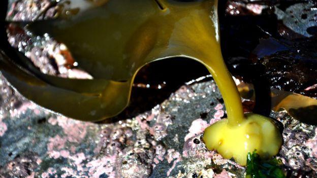 Alga hallada en una playa en la Península Antártica