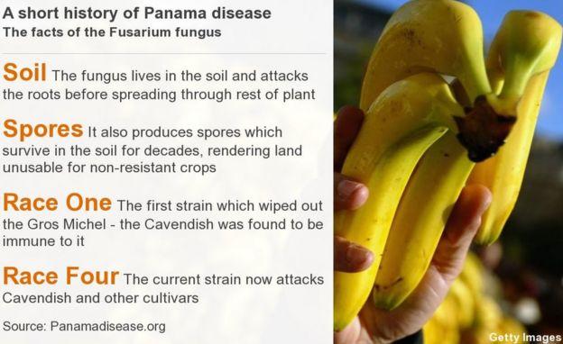 Panama disease facts