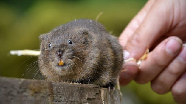 42ae3548baf Water voles: National Trust releasing 100 in Yorkshire Dales - BBC News