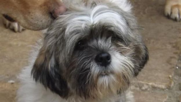 A female, honey-and-white-coloured Lhasa apso