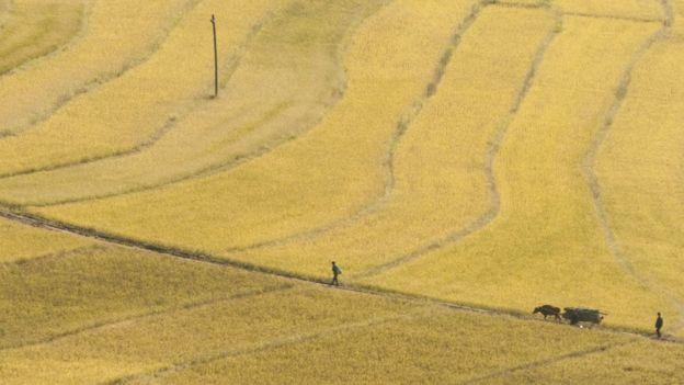 Campesinos arando con buey