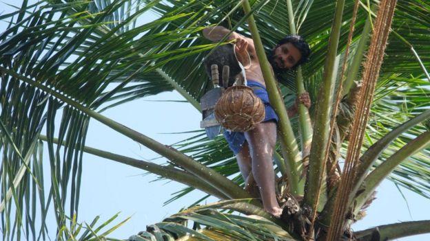 A toddy tapper on a coconut tree in Sri Lanka