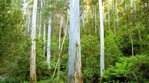 A eucalyptus tree forest in Australia