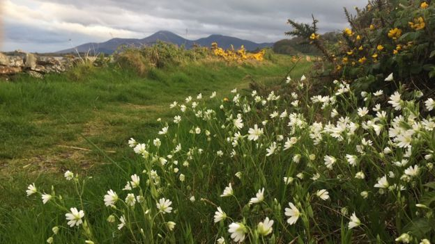 Wildflowers beside a grassy path near the County Down coast