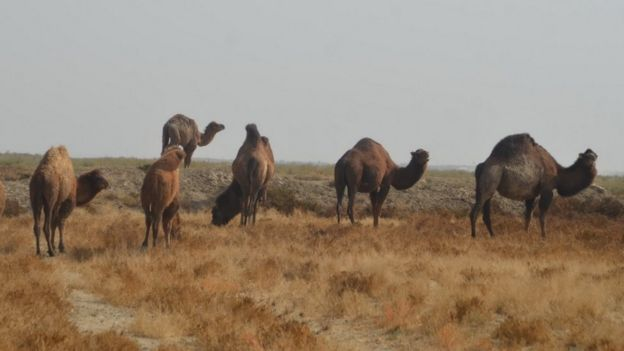 همزمان کاهش جمعیت شتر در ایران نرخ دیه در طول سالها بطور مستمر افزایش یافته است