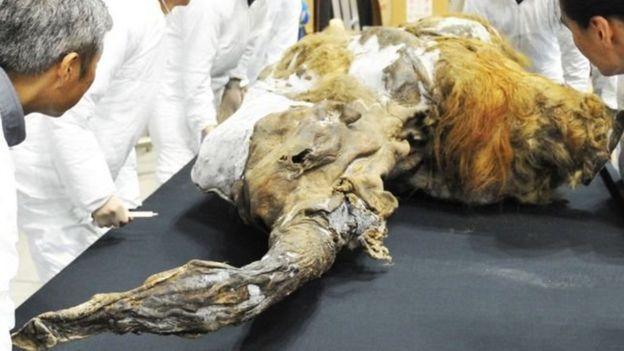Yuka, bebé de mamut lanudo