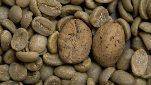 Grãos de café Ambongo, que está ameaçado, entre grãos de café arábica