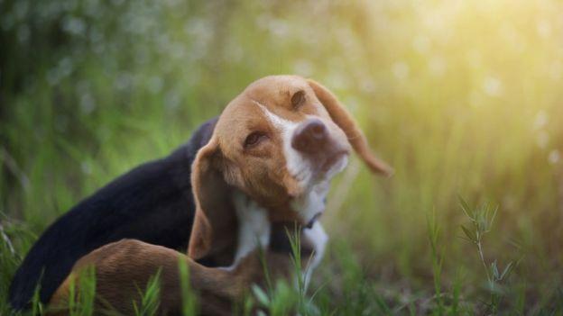 Cachorro coçando a orelha