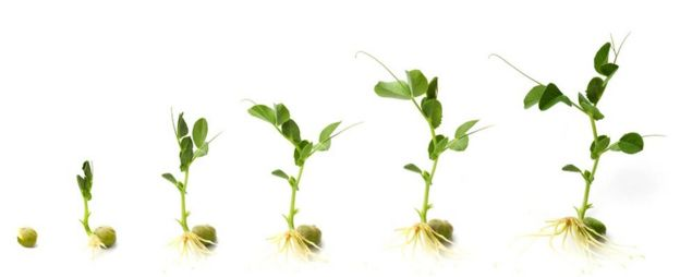 Pertumbuhan tanaman kacang