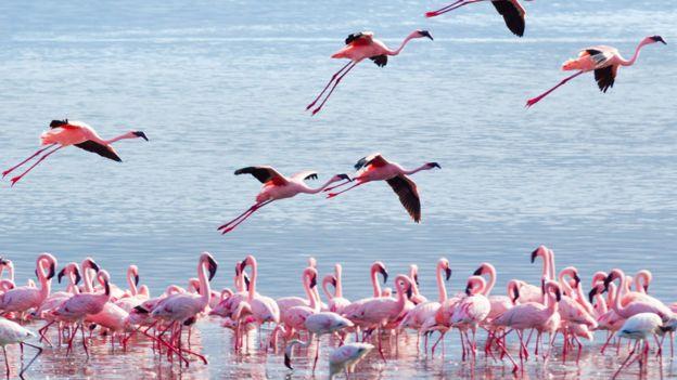 Flamencos en un lago en Kenia