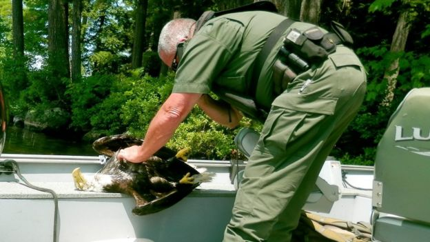 Maine game warden Neal Wykes inspects the dead bald eagle