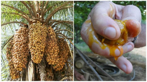 Resultado de imagem para sementes de macaúba