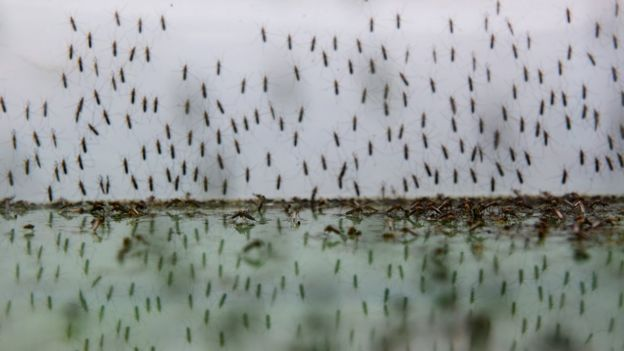Mosquitoes in water