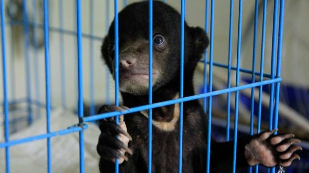 Caged Sun bear rescued from illegal trafficking
