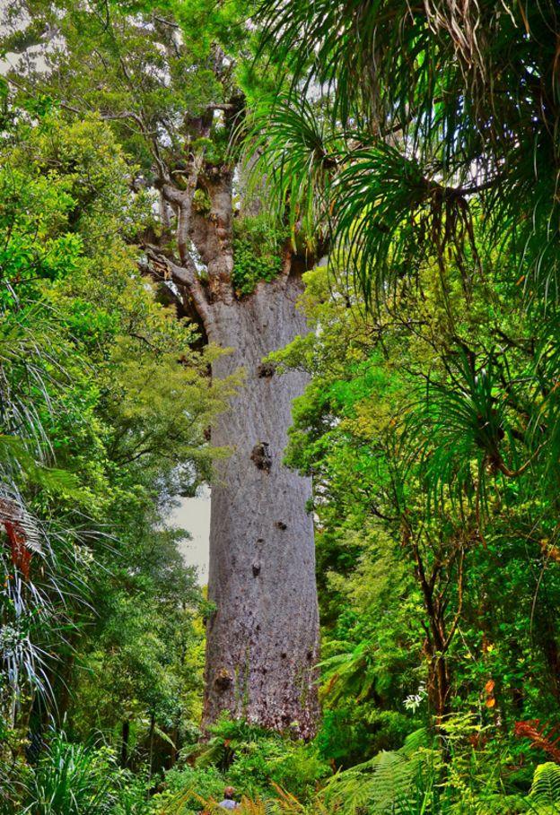 O famoso kauri, conhecido como Tane Mahuta
