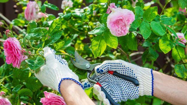Podando rosas