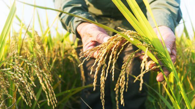 Manos con una planta de arroz con granos