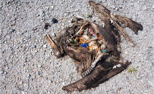 Deniz kuşları yuttukları plastikler nedeniyle ölüyor