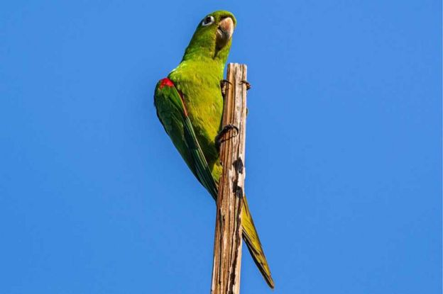 A Hispaniolan parakeet