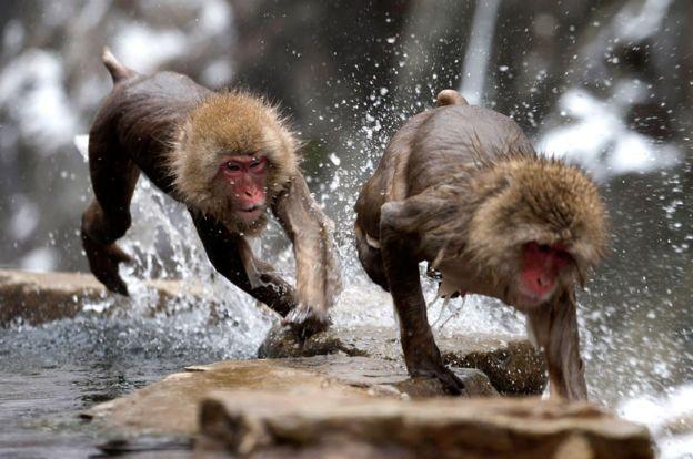 Simios corriendo