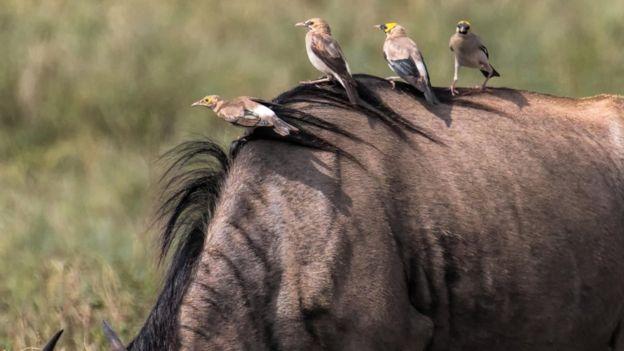 Antílopes africanos