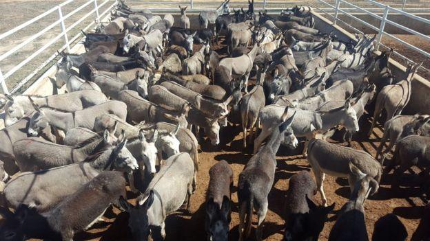 Jumentos reunidos para abate na Bahia, em imagem de 2016