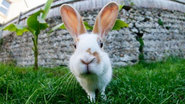 خرگوش سومین حیوان خانگی محبوب در بریتانیا است