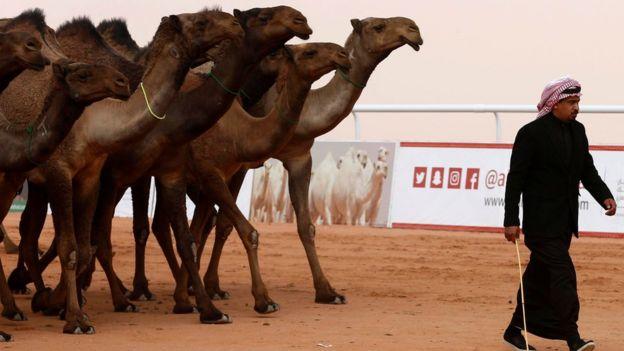 Camellos en el festival Rey Abdulzaziz