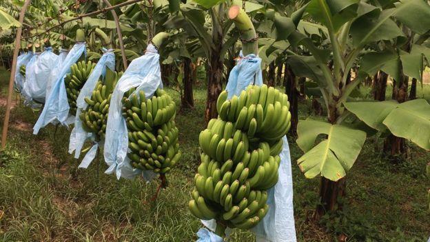 Bananas em armação de metal