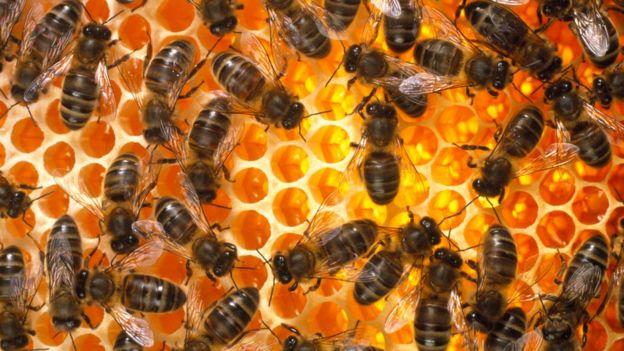 يبلغ عدد النحل الذي يولد نظريا في بريطانيا في اليوم إلى 371191500 نحلة في اليوم