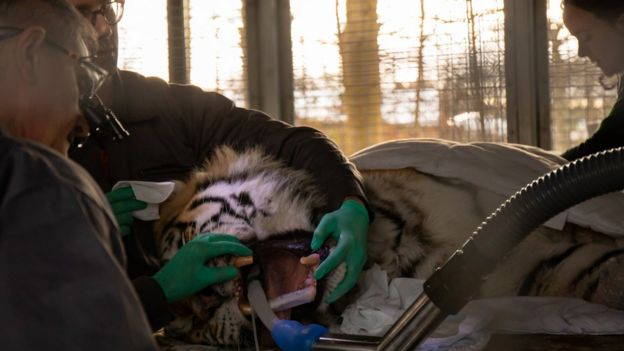 Vets look into the tiger's mouth