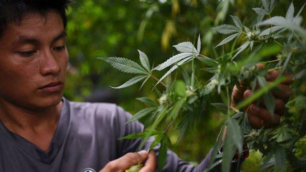 legalizacion de la marihuana en colombia pdf